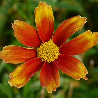 Coreopsis x 'Lil Bang Orange Elf'