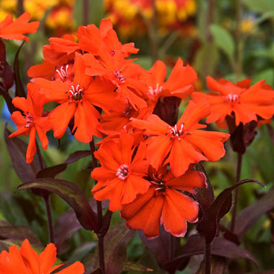 Lychnis a. 'Orange Gnome'