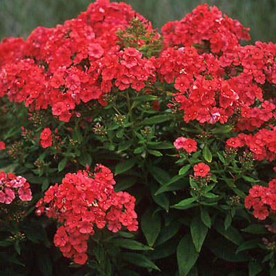 Phlox paniculata 'Orange Perfection'