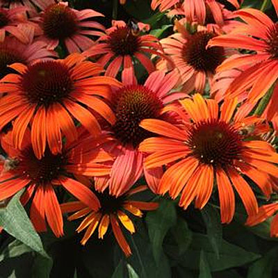 Echinacea x 'Orange Skipper'