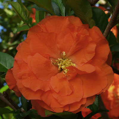 Chaenomeles 'Double Take Orange Storm'