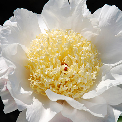 Paeonia lactiflora 'Over Easy'