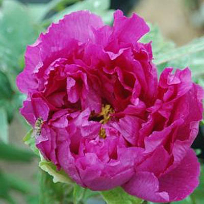 Paeonia suffruticosa 'Purple'