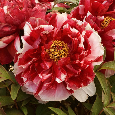 Paeonia suffruticosa 'Shimanishiki'