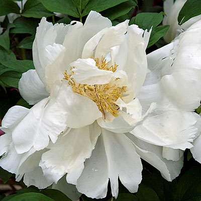 Paeonia suffruticosa 'White'