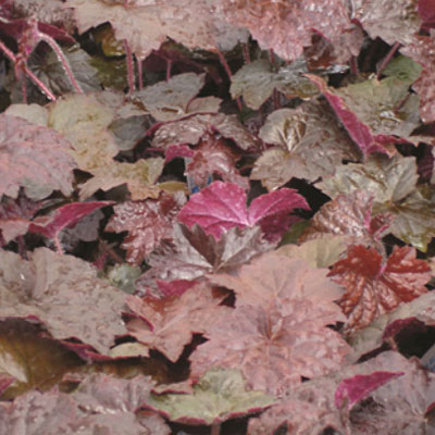 Heuchera micrantha 'Palace Purple Select'