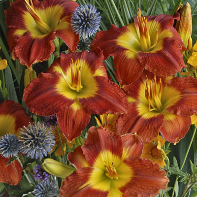 Hemerocallis 'Passion for Red'