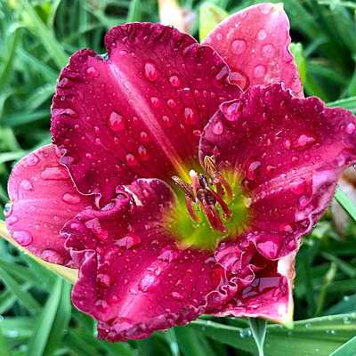 Hemerocallis 'Passionate Returns'