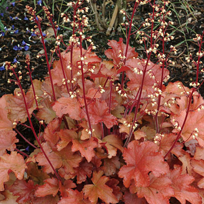 Heuchera x 'Peach Flambe'