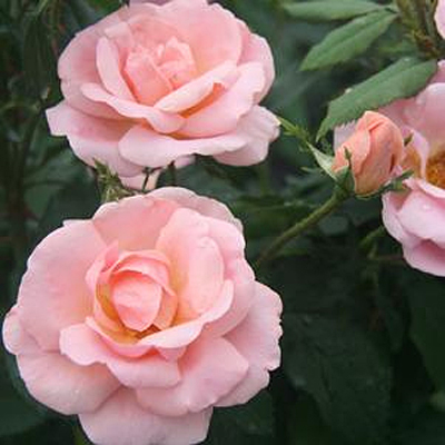 Rosa 'Peachy Knock Out'