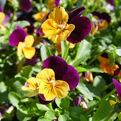 Viola x 'Penny Orange Jump-Up'