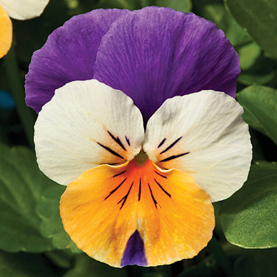 Viola 'Penny Peach Jump Up'