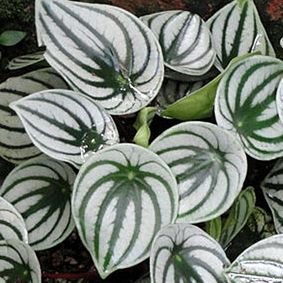 Peperomia Napoli Nights Estabrook S