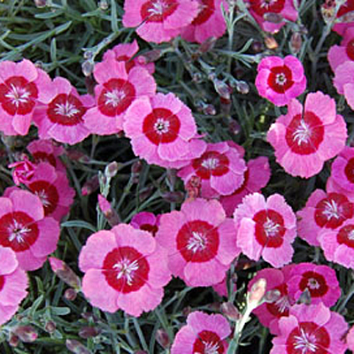 Dianthus x 'Peppermint Star'