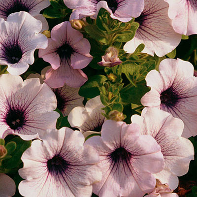 Petunia 'Supertunia Mini Blue Veined'