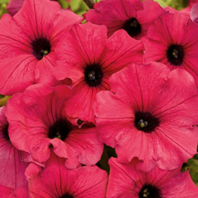 Petunia 'Supertunia Royal Magenta'