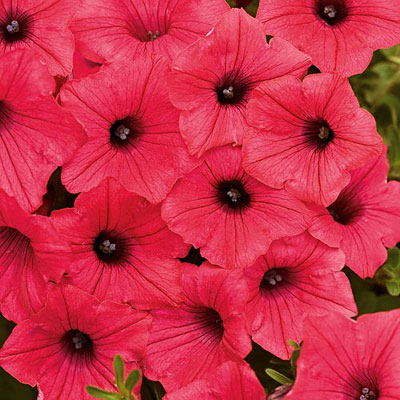 Petunia 'Supertunia Vista Fuchsia'