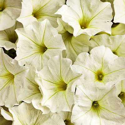 Petunia 'Supertunia White'