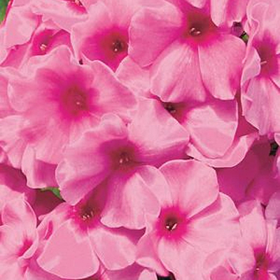Phlox p. 'Volcano Pink with Red Eye'