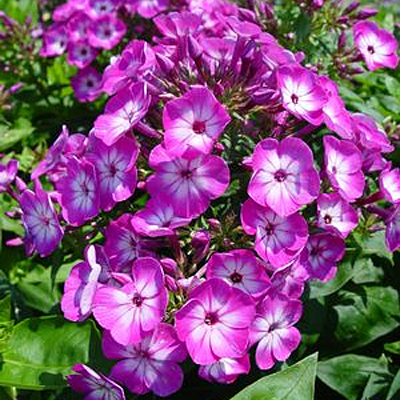 Phlox p. 'Volcano Purple with White Eye'