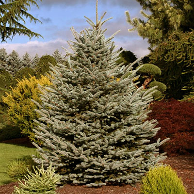 Picea p. 'Fat Albert'