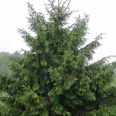 Picea or. 'Gowdy'