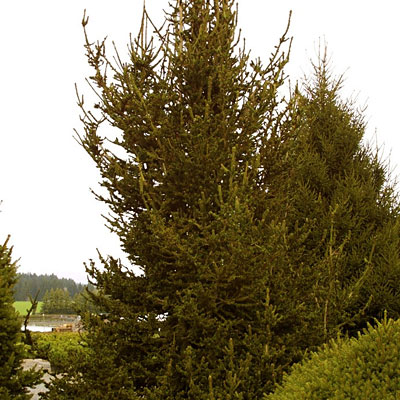 Picea abies 'Hillside Upright'