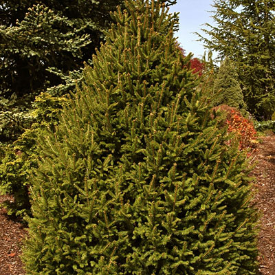 Picea a. 'Sherwood Compact'