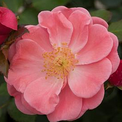 Rosa 'Oso Easy Pink Cupcake'