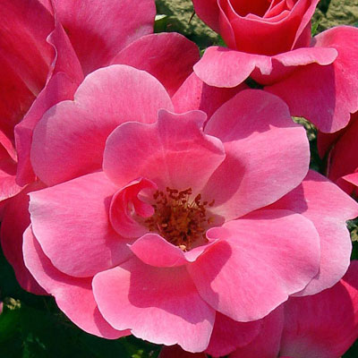 Rosa 'Pink Knock Out'
