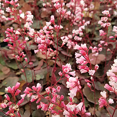 Heuchera x 'Pink Pearls'