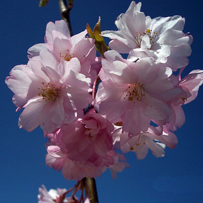 Prunus x 'Pink Snow Showers'