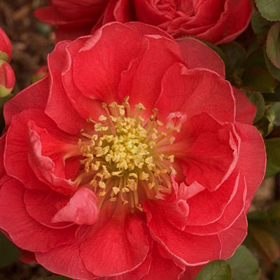 Chaenomeles 'Double Take Pink Storm'