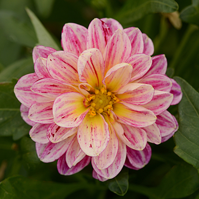 Dahlia 'Dalaya Pink & Yellow Eye'