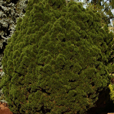 Pinus m. 'Big Tuna'