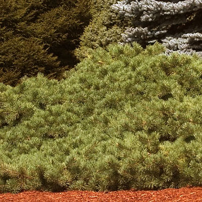 Pinus syl. 'Hillside Creeper'