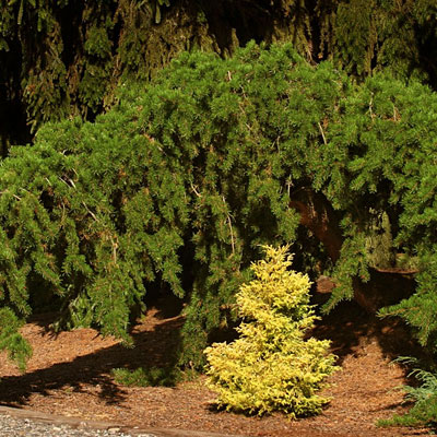 Pinus ba. 'Uncle Fogy'