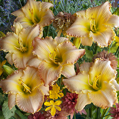 Hemerocallis 'Pizza Crust'