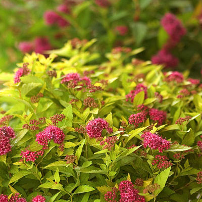 Spiraea j. 'DP Gold'