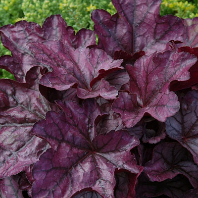 Heuchera x 'Plum Royale'