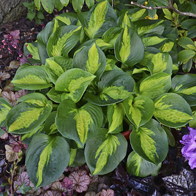 Hosta 'Pocketful of Sunshine'