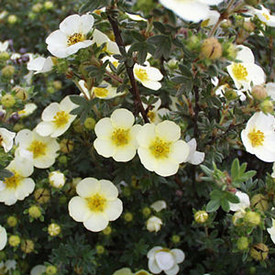 Potentilla f. 'Primrose Beauty'