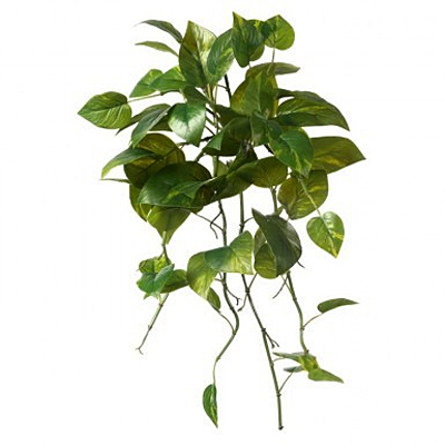 Pothos Bush Green