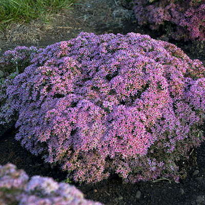 Sedum x 'Pride and Joy'