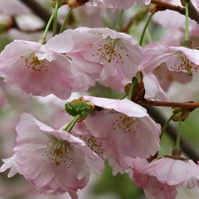 Prunus x 'Accolade'