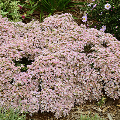Sedum x 'Pure Joy'