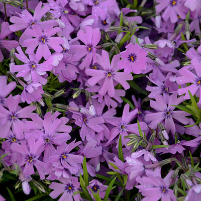 Phlox sub. 'Purple Beauty'