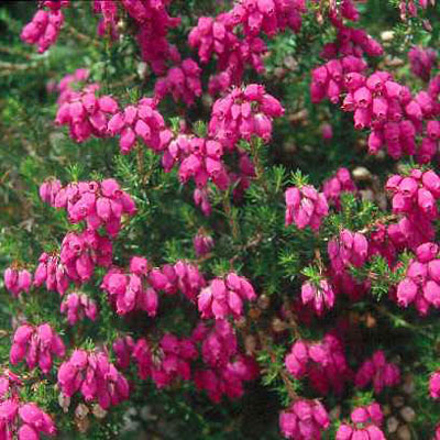 Erica cinerea 'Purple Bells'