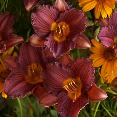 Hemerocallis 'Purple D'Oro'