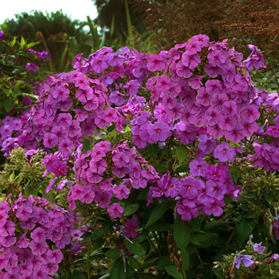 Phlox paniculata 'Flame Purple'